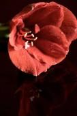 pohled z živých korálů Amarylis květin na tmavém pozadí na plochu