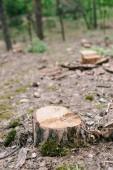 suchý dřevěný pahýl řezaných stromů a zeleného mechu v lese