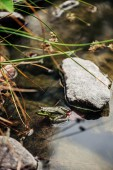 Fotografia messa a fuoco selettivo della rana verde nel lago esterno
