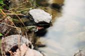 Fotografia messa a fuoco selettivo della rana verde e selvatica nel fiume vicino alle pietre