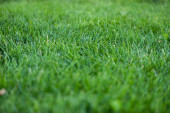 Selective focus of green grass on meadow