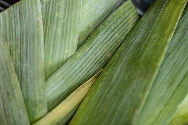Close up view of fresh green leek stock vector