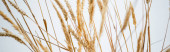 bunch of golden wheat on white background, banner