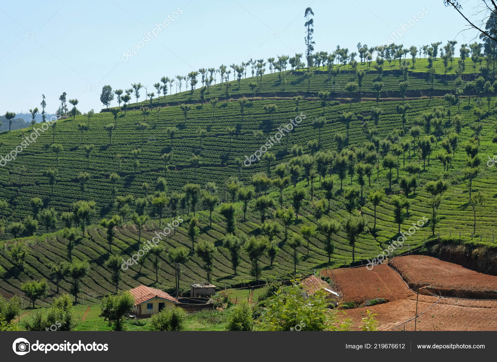 Silver Oak Trees Grevillea Robusta Prevalent Features Tea