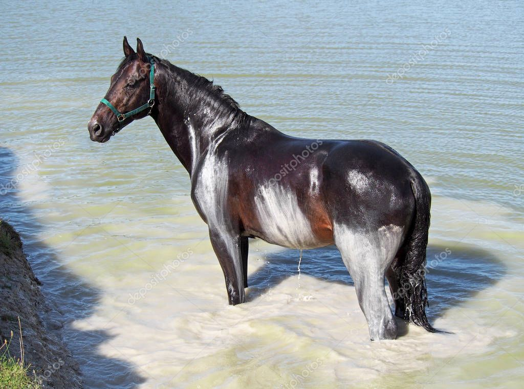 The dark bay horse of  warmblood breed accepts natural SPA bathtubs