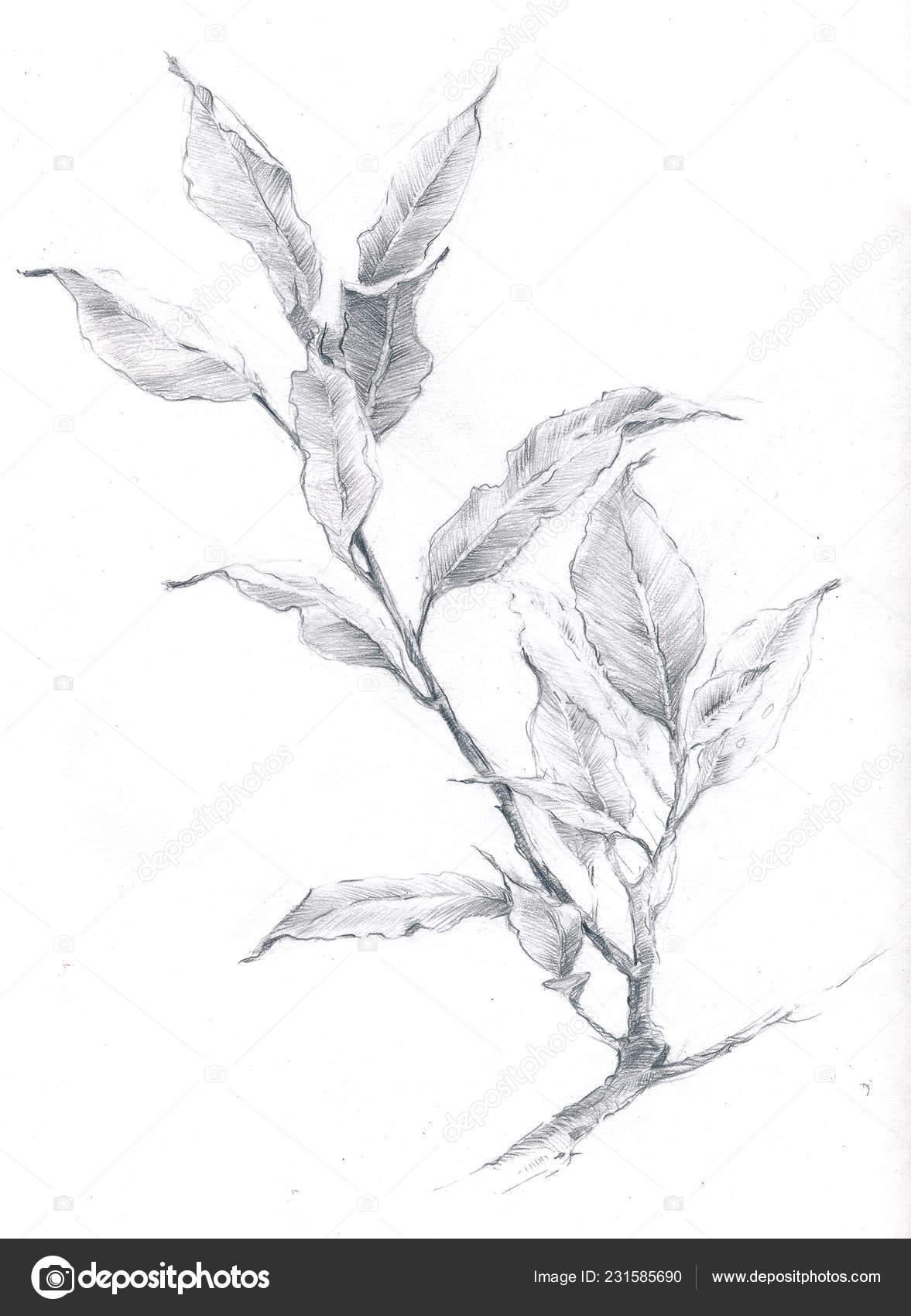 Botanical illustration of a pencil sketch of a laurel branch stock image