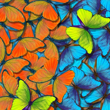 morpho butterfly texture background. colorful natural abstract background. butterfly wings in flight