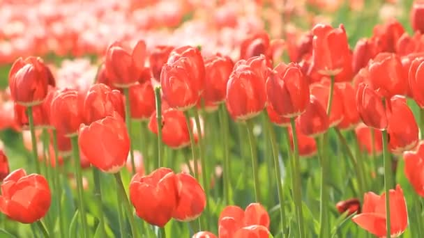 Red tulips flowers blossom in springtime