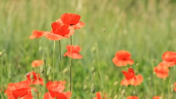 Red poppies grow in the field