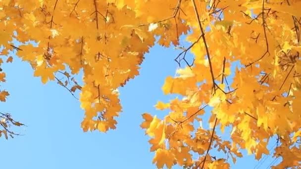 Ahorn Herbstbaum gegen den blauen Himmel