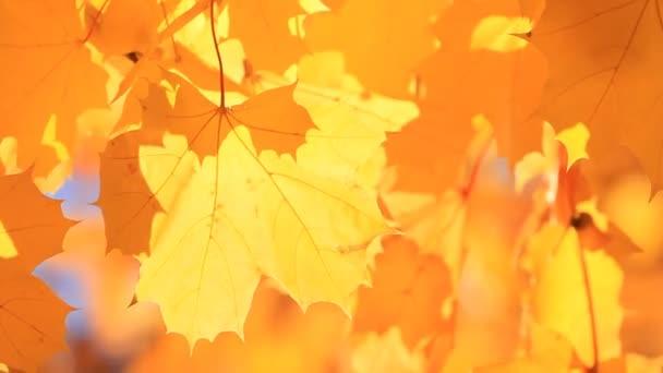 Přírodní pozadí žluté podzimní javorové listy