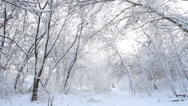 Trees with snow in winter forest.