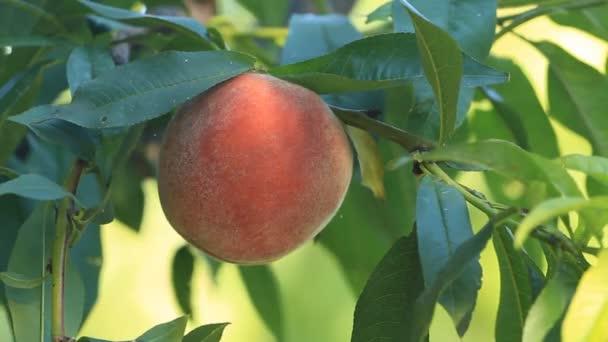 Érett őszibarack gyümölcs a fán nő