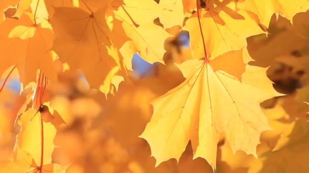 Maple leaves and sunlight close up