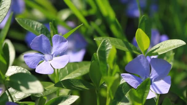 Periwinkle blooms in the spring garden