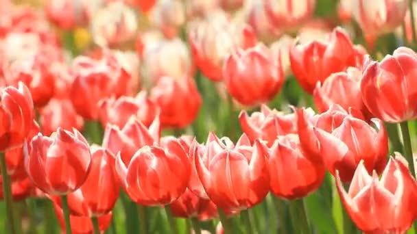 A nyáron piros tulipán virágágyásba.