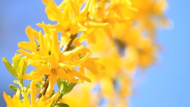 Žluté květy zlatice a bee rozkvetl na jaře