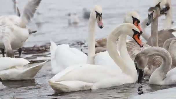 Feeding the swans and quacks on the river in winter