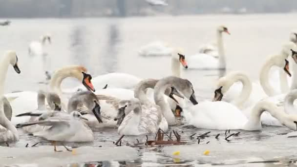 People feed the swans on the winter river