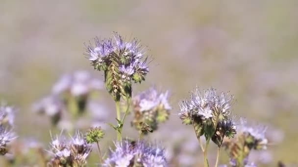 Honey flowers Phacelia and bees in the meadow