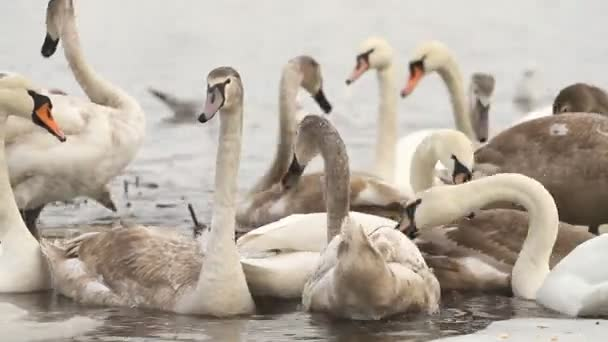 Young swans swim on the winter river