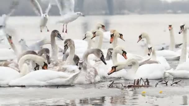 White swans and quacks on the winter river