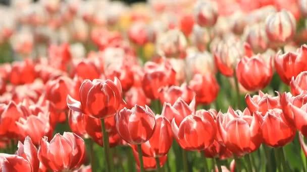 Krásné tulipány kvetou na jaře parku