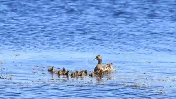 Mother duck and baby duckling swimming in the sea