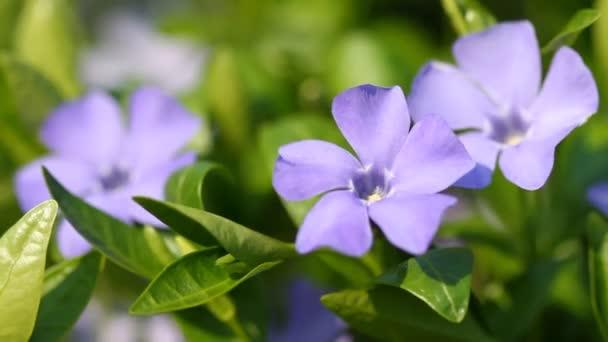 Blooming spring flowers of vinca minor and bee