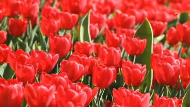 Szép piros tulipán kivirágzott tavasszal