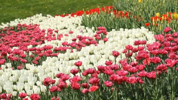 Flowerbed of multicolored tulips in spring park.