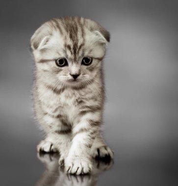 beautiful kitten scottish-fold, look down, on grey background