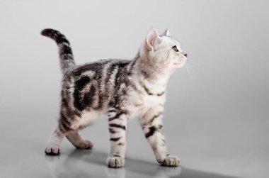 beautiful kitten scottish-fold, look on camera, on grey background