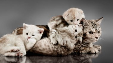 family group of four fluffy beautiful kitten with mother, breed scottish-fold, lie on grey background