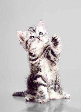 beautiful kitten scottish-fold, play on grey background