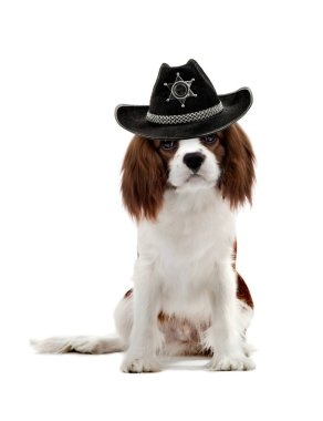 pure-bred dog, puppy Cavalier King Charles Spaniel, sit on white background in sheriff hat, isolated
