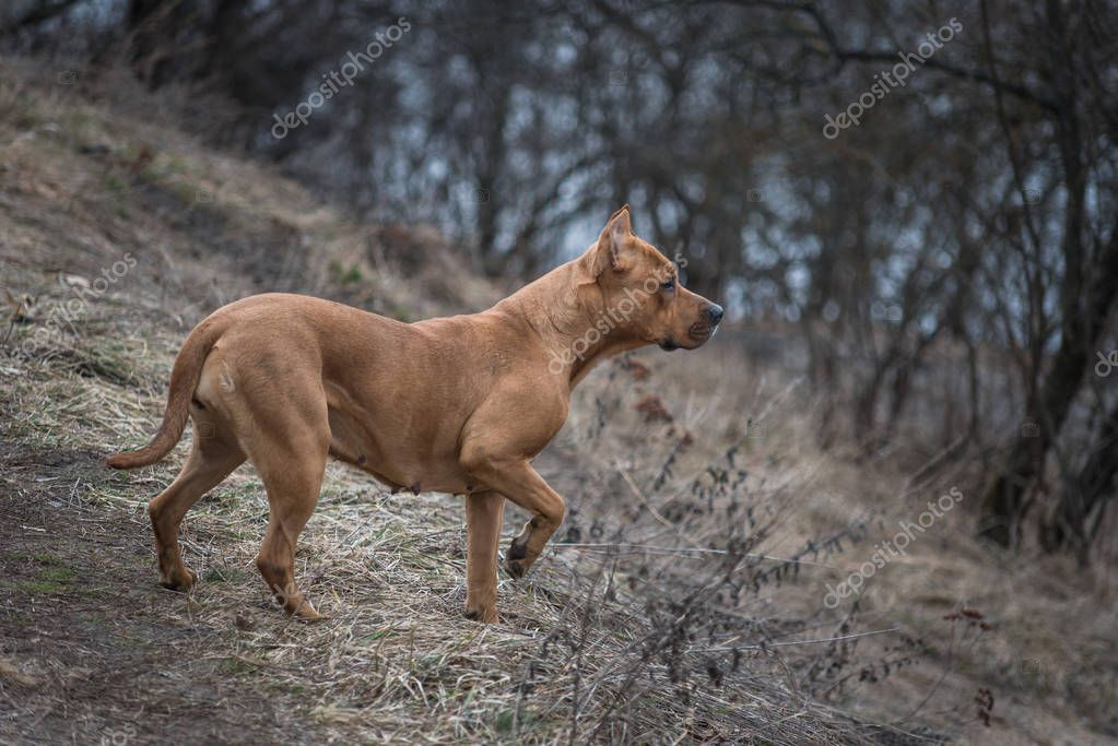 American Staffordshire Terrier on a walk