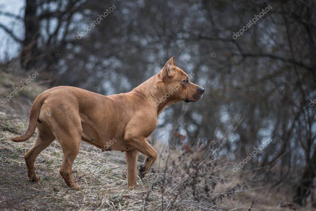 American Staffordshire Terrier on a walk