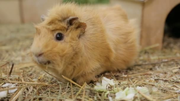 Funny guinea pig in zoo