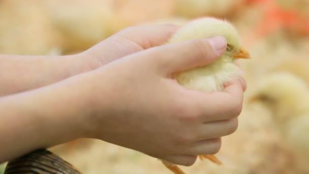 Little yellow chicken in child's hands