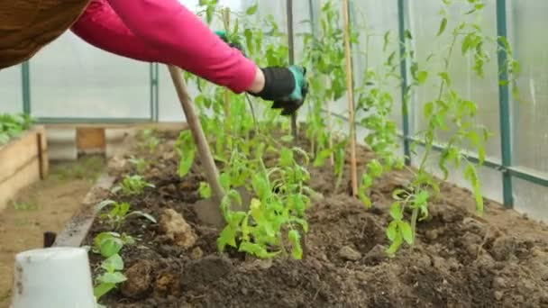 Planting tomato saplings in greenhouse