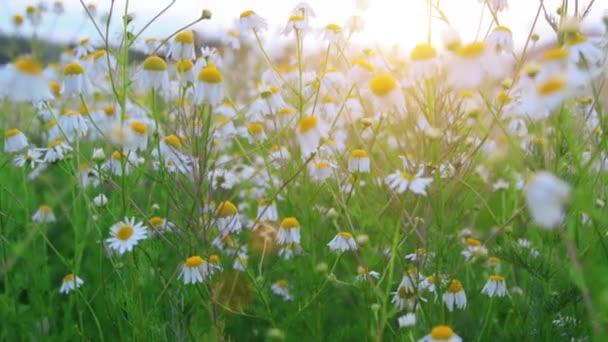 Krásné heřmánkové pole při západu slunce