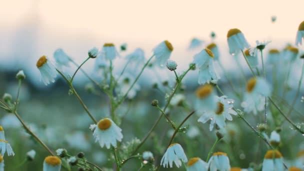 Krásné heřmánkové květy za večerního světla