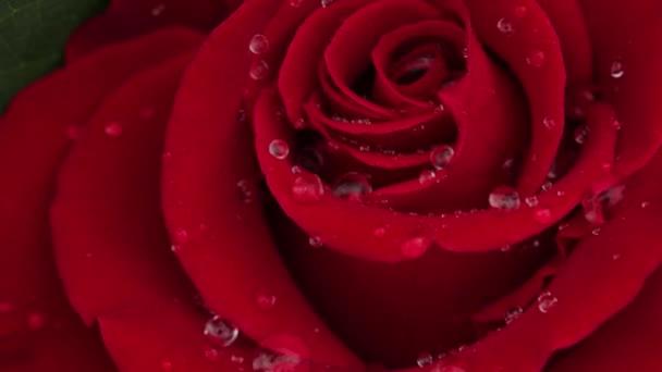 Rózsaszirmokra hulló vízcseppek