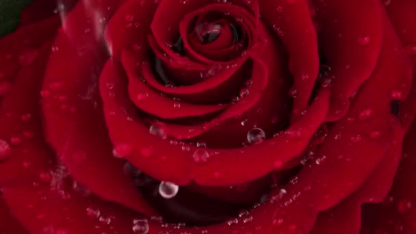 Water drops falling on rose-petals