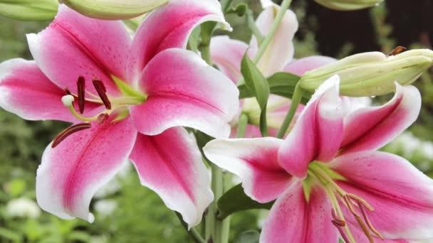 Nagy liliom virágok közelről