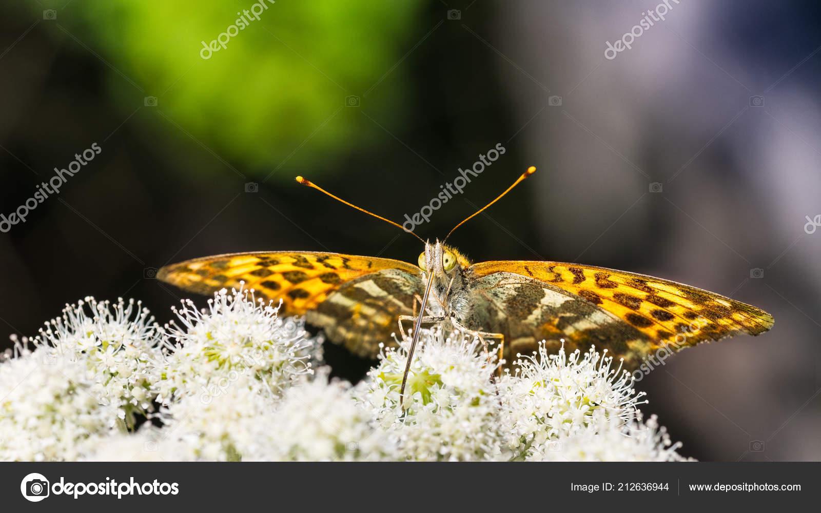 Nahaufnahme Der Futterung Schmetterling Unterseite Auf Goutweed