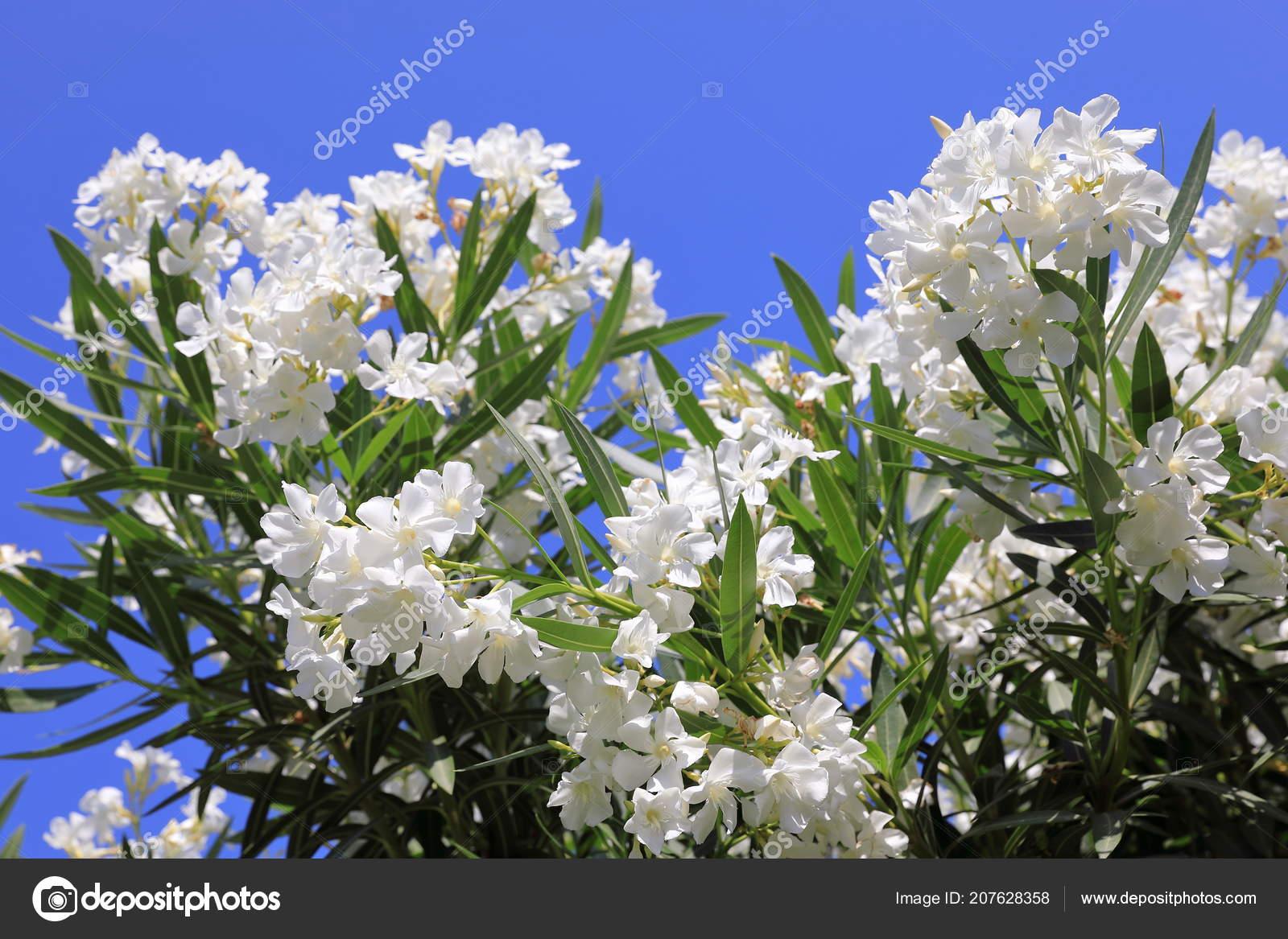 Nerium Oleander White Oleander Flowers Blue Sky Background Stock