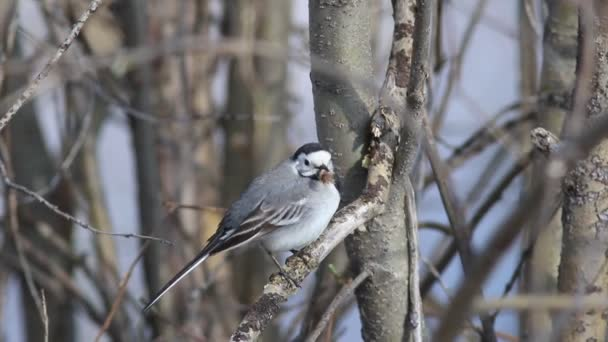 Motacilla alba. White Wagtail holds a piece of wool in its beak