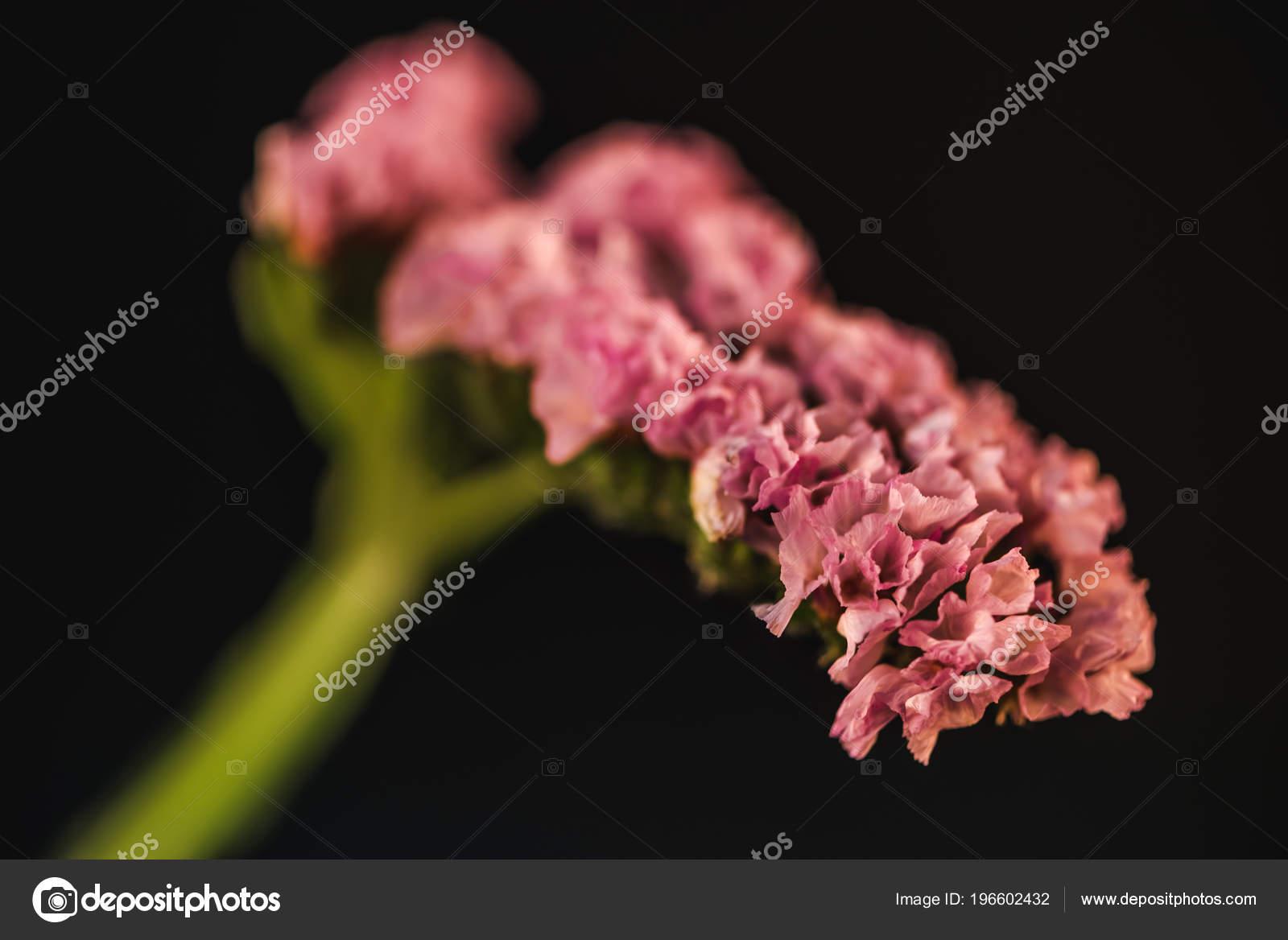 Close Pink Statice Flower Limonium Isolated Black Stock Photo